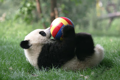 Oso panda jugando con pelota