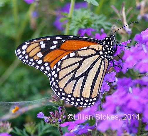 Monarch in trouble
