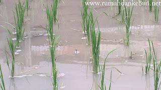 cara merawat padi