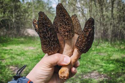 Morel mushroom supply