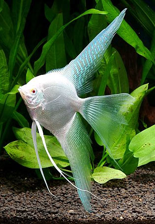 Joe 39 s aquaworld for exotic fishes mumbai india 9833898901 for Saltwater fish for sale near me