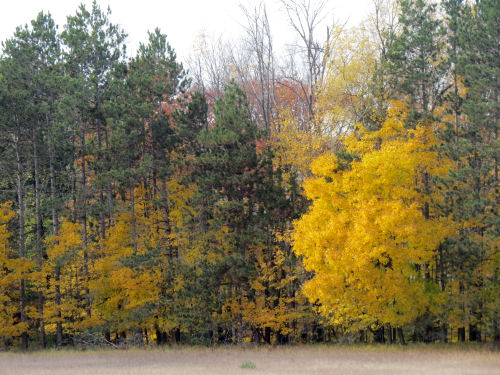 yellow autumn tree with red pines