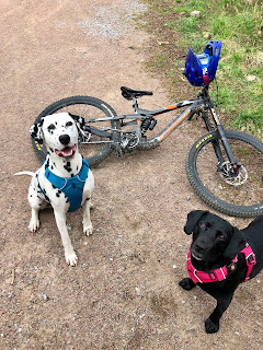 dalmatian smiling with springador and downhill bike with harness on
