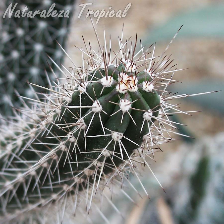 Vista superior del tallo característico del cactus Stenocereus fimbriatus