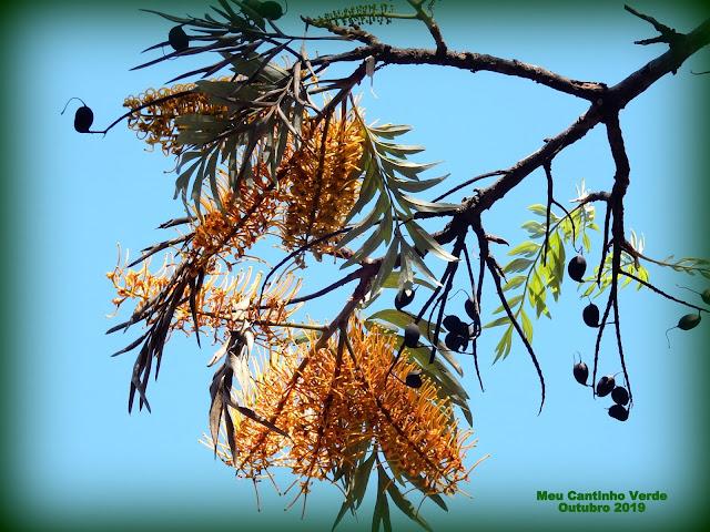 Sementes da GREVÍLEA-ROBUSTA - ( Grevillea robusta )