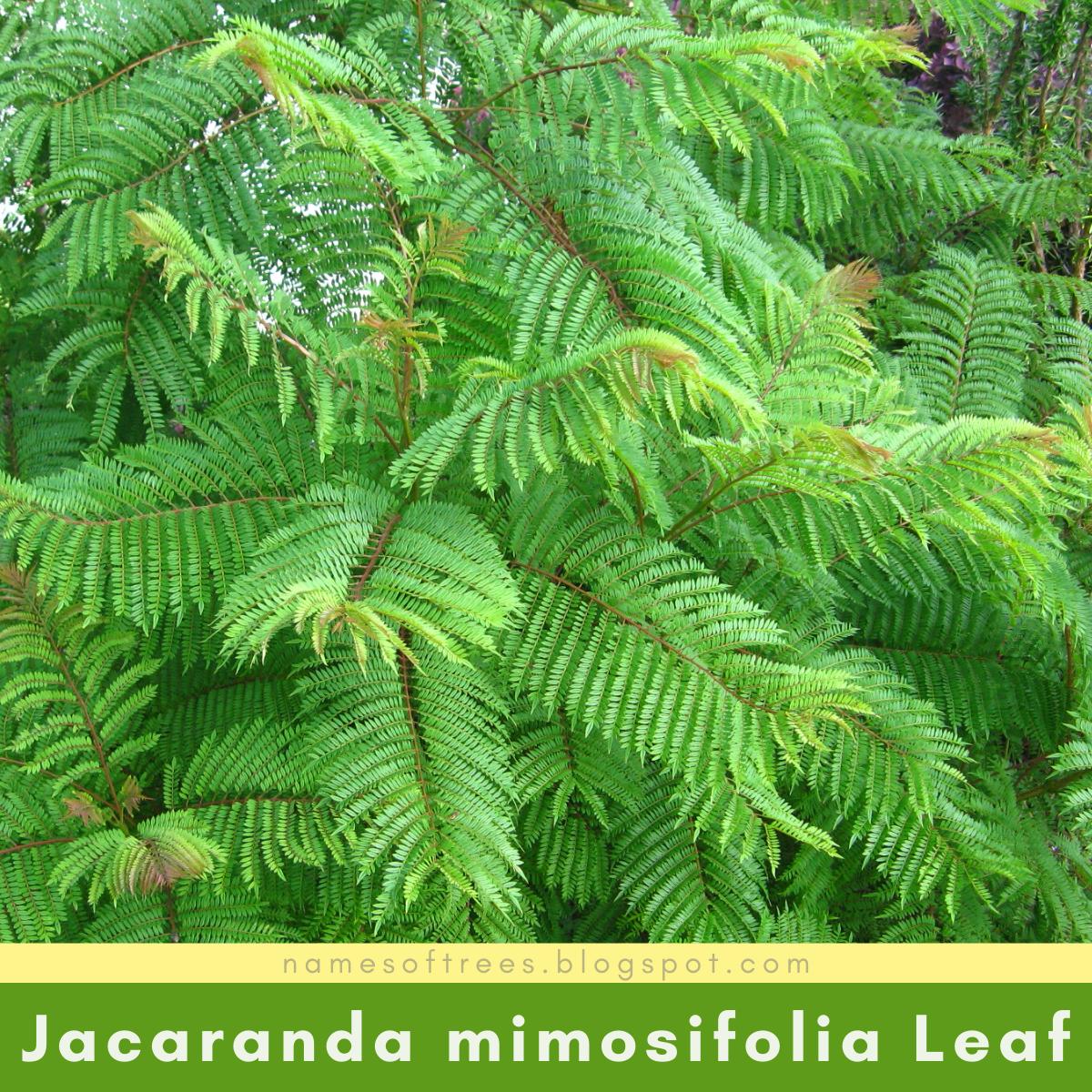 Characteristics Of Jacaranda Tree Jacaranda Mimosifolia In The Wild Names Of Trees
