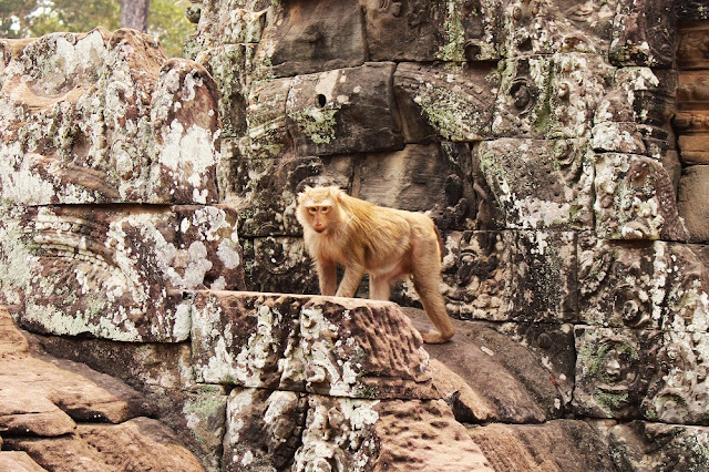 Monkey on Angkor temples in Siem Reap, Cambodia - Asia travel blog