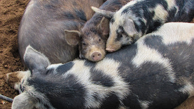 Climbing My Family Tree: Sleeping pigs (Pixabay.com)