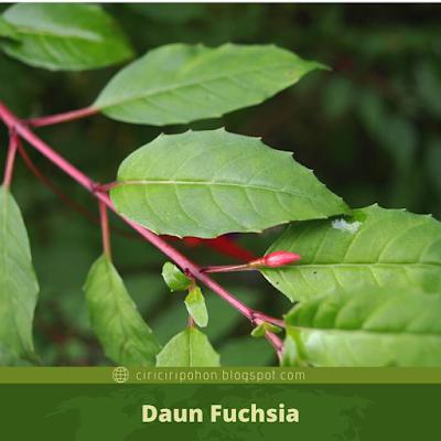 Ciri Ciri Daun Fuchsia