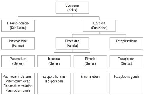 klasifikasi sporozoa