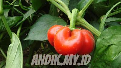 berkebun organik, berkebun, pertanian organik, sayuran organik, tanaman organik, pupuk organik,