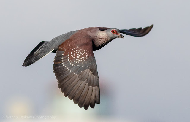 Speckled pigeon in flight over the Diep River, Woodbridge Island