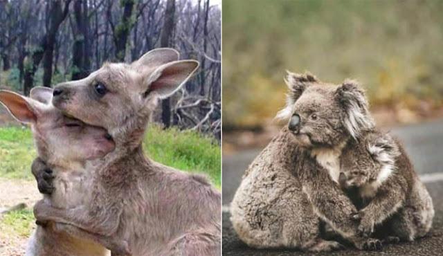 Bikin Sedih, Inilah 10 Potret Hewan Korban Kebakaran Hutan di Australia