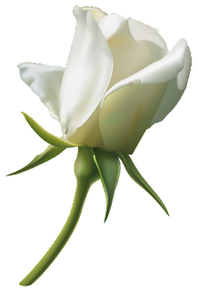 A perfect white rose