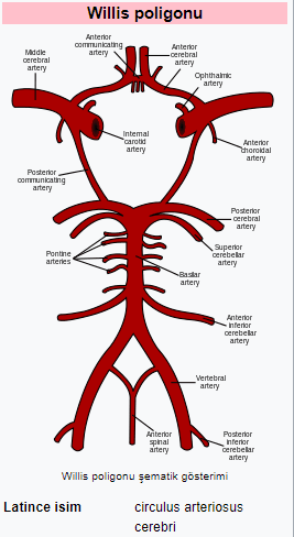 Willis Poligonu Arterleri