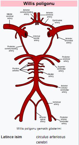 Willis Poligonu Arterleri