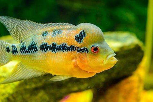 15 Jenis ikan hias air tawar terpopuler di indonesia