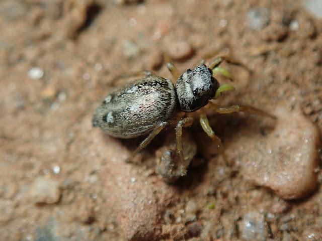 Heliophanus cupreus