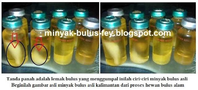 Ciri ciri minyak bulus hasil alam dengan minyak bulus hasil peternakan