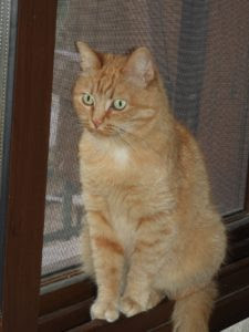 ginger cat sitting at window