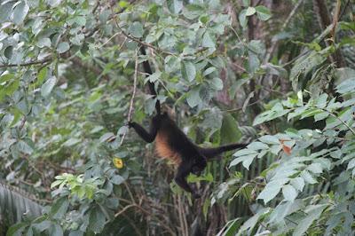 Samara Costa Rica Affe
