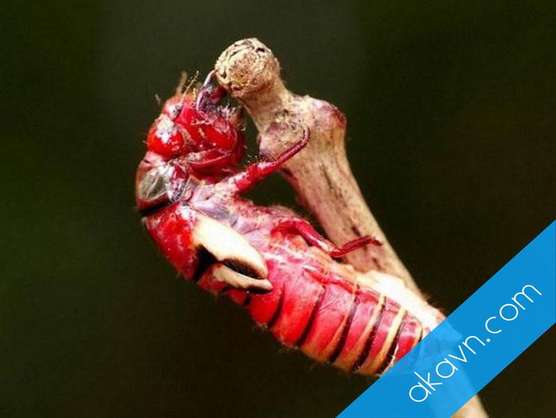 Mục sở thị loài ve sầu cực lạ màu đỏ chót xuất hiện ở Việt Nam