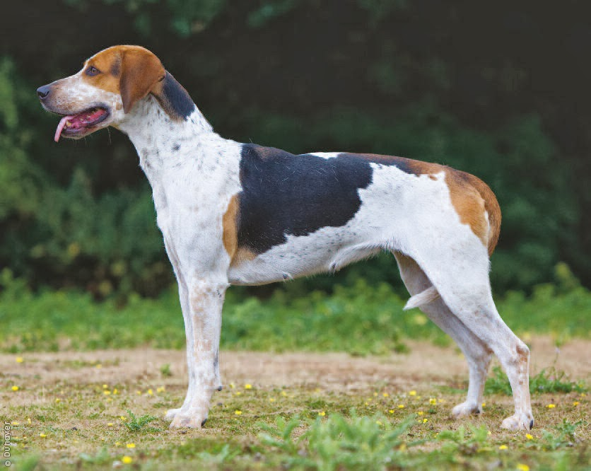 foxhound terrier english foxhound the breed terrier university 5718