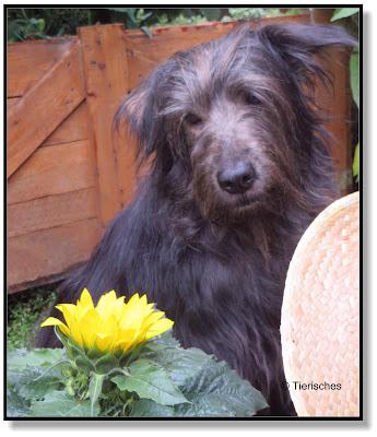 Hund mit Sonnenblume