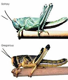 Desert Locusts FAQ | Insects Attack