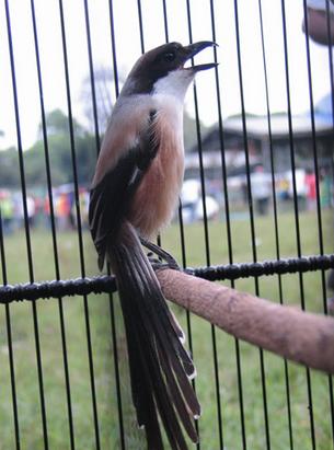 Cara atau Tips agar Burung Cendet Rajin Berkicau atau Gacor