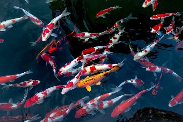 Food for Koi Fishes