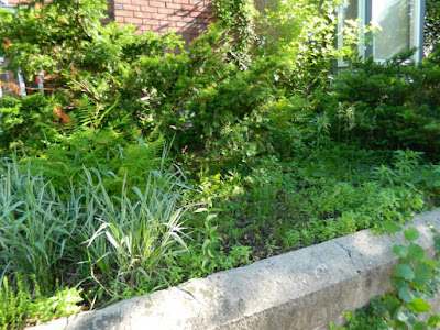 Toronto Riverdale Summer Front Garden Cleanup Before by Paul Jung Gardening Services--a Toronto Organic Gardening Company