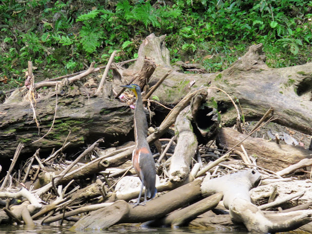 Costa Rica Birds: Bare-throated tiger heron