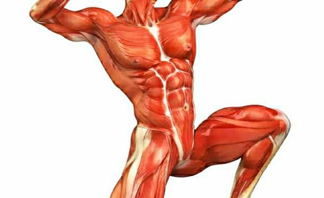 كم عدد عضلات جسم الانسان وما هي أنواع عضلات جسم الإنسان ومكونات الجهاز العضلي 1