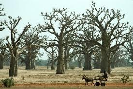 Culture, arbre, bois, baobab, emblème, trésor, sacré, fruit, réunion, cérémonie, village, rite, LEUKSENEGAL, Dakar, Sénégal, Afrique