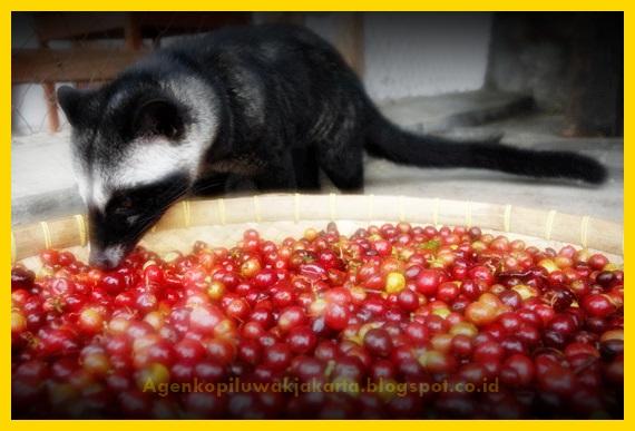gambar musang sedang makan biji kopi ranum merah di penangkaran luwak