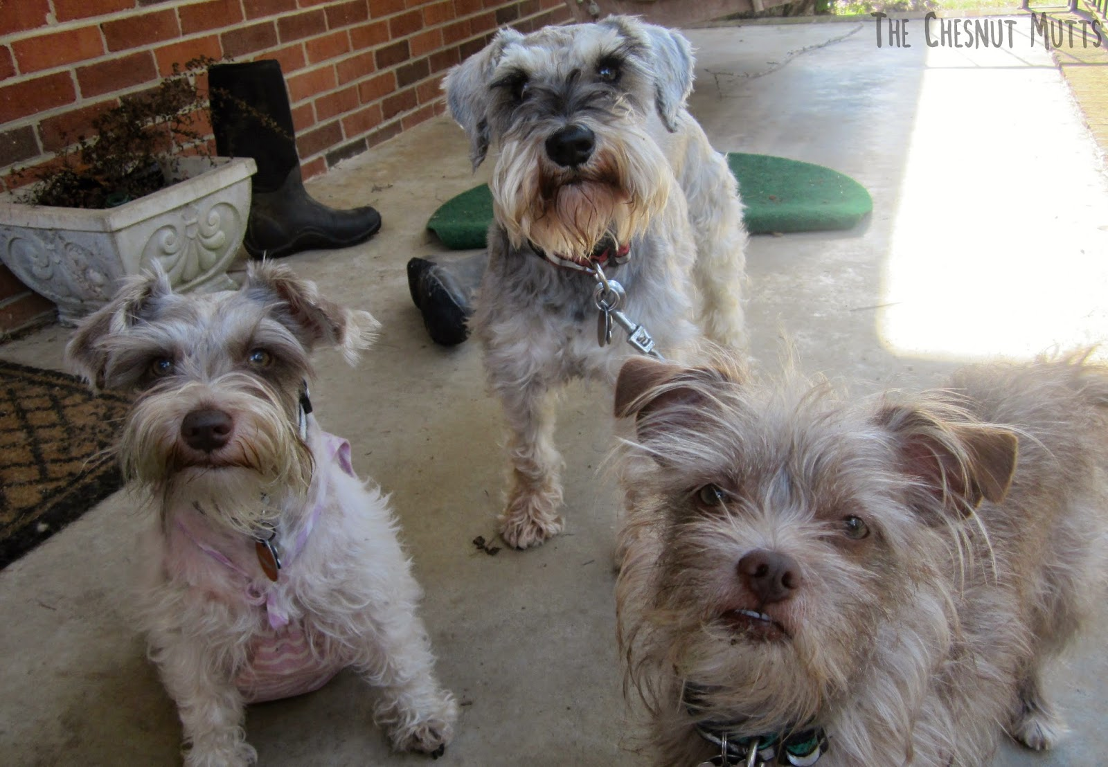 Dottie, Dibble, and Bailey waiting for a RedBarn treat