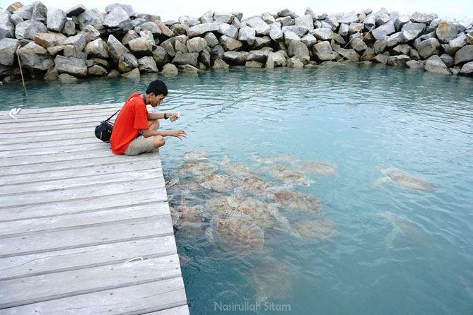 Memberi makan penyu di pantai Tongaci Bangka