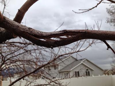 Broken Apricot Branch from Heavy Fruit Load