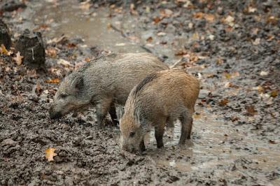 teknik dan cara menembak babi