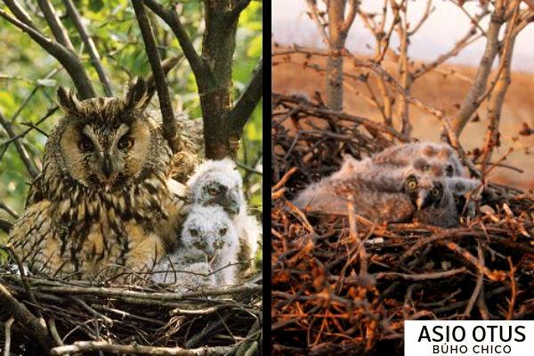 El habita del búho chico es sobre todo en bosques y parajes arbolados
