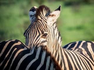 Facts of Zebra #6