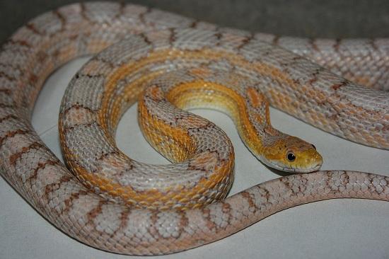 Palmetto Corn Snake | Pics | Download |