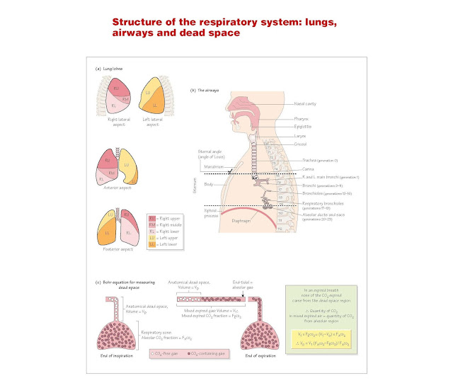 Structure Of The Respiratory System: Lungs, Airways And Dead Space