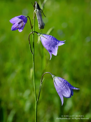 Harebells. Copyright © Shelley Banks, all rights reserved