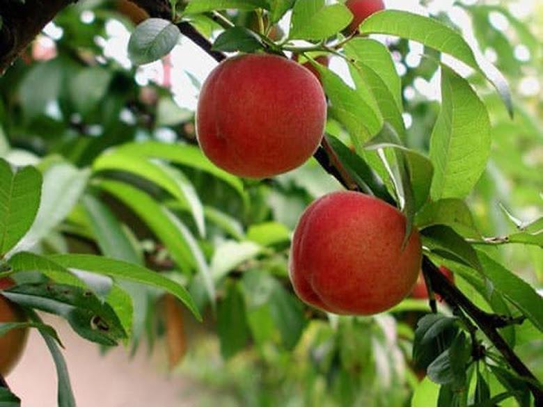 Diskon bibit tanaman buah persik Banten