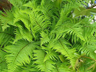 feriga planta medicinala