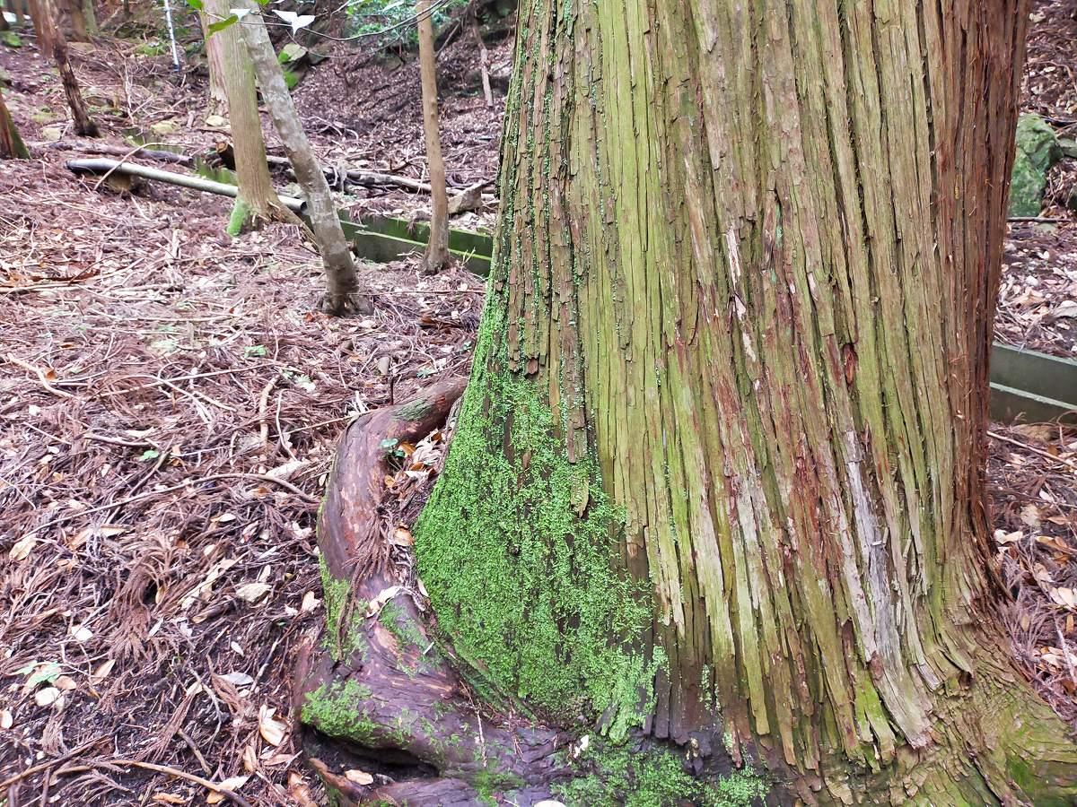 苔むした木。