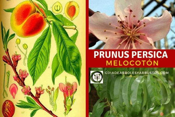 Prunus persica, melocotón, es un árbol que vive muchos años considerado como el símbolo de la longevidad