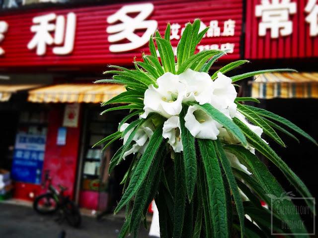 Sezam indyjski (Sesamum indicum) - jak rośnie, jak wyglada, jaki ma pokrój, kwiaty, liście, owoce, torebki, łodyga. Sezam w Chinach.